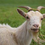 Kambing Makan Rumput