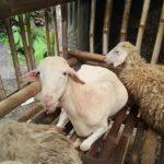 Kambing Dan Domba