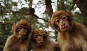 Tiga Ekor Monyet